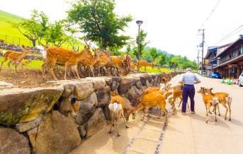 Nara, jelínci