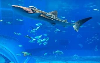 Ósaka, Akvárium žralok velrybí