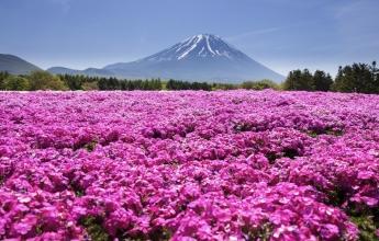 Rozkvetlé louky kolem Fudži