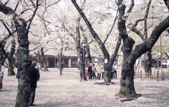 Kvetoucí sakury na jaře