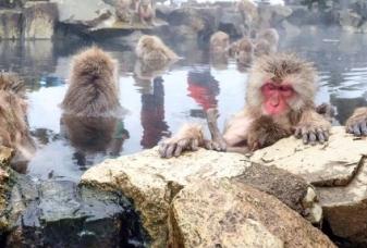 Sněžné opice, Japonsko