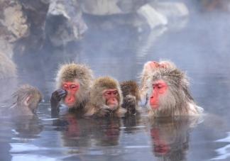 Sněžné opice v Jamanouči