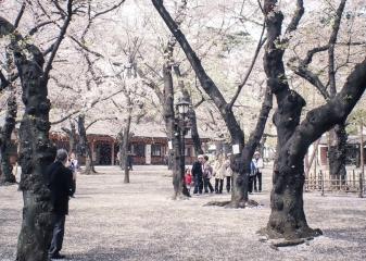 Sakury, Japonsko