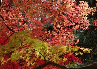 Japonsko, podzimní listí