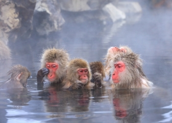 Jamanouči, sněžné opice, Japonsko