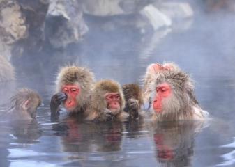 Makaci v přírodních lázních, Jamanouči