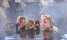 Sněžný makak, Jamanouči